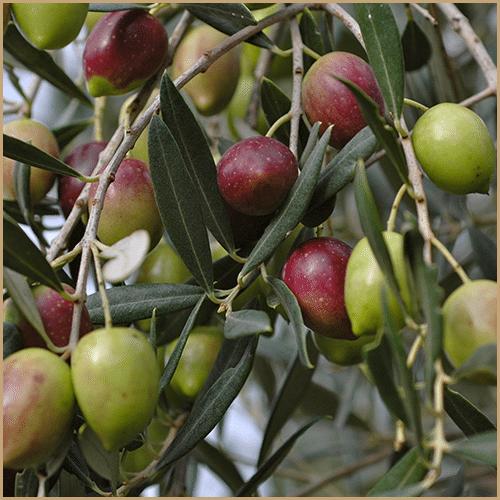 castello zacro extra virgin olive oil